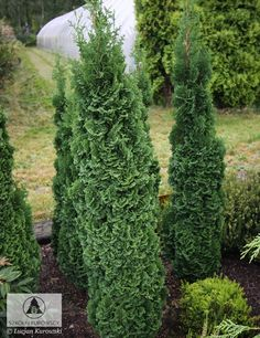 Thuja occidentalis 'Brobeck's Tower' -
