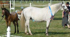 Murvey Inver Lor with filly foal by Wildwych Wily Casanova Connemara Pony, Ponies, Sport, Animals, Deporte, Animales, Animaux, Sports, Animal