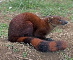 Galidia elegans/Ring-Tailed Mongoose/Mangouste à Queue Annelée Interesting Animals, Unusual Animals, Rare Animals, Animals Beautiful, Animals And Pets, Funny Animals, Carnivore, Tier Fotos, Mundo Animal