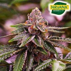 #feminizedseeds #marijuana #weedseeds Seeds Online, Seed Bank, Weed Seeds, Girl Scout Cookies, Cannabis, South Africa, How To Make Money, Plants, Ganja