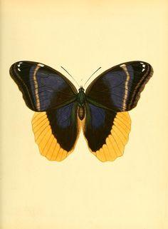 Sammlung neuer oder wenig bekannter aussereuropäischer Schmetterlinge - BioStor
