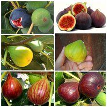 6 pcs Fig Seeds, tree fruit bonasi tree for DIY Home Garden Plant Chinese Edible Fruit Seeds W089(China (Mainland))