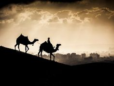 Two Camels at Sunset, Giza, Egypt  Design Pics / SuperStock