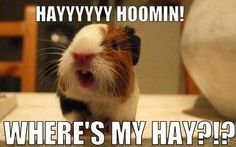 Cute guinea pig caption photo