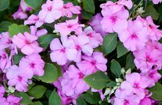 ahkeraliisa - Impatiens walleriana Daffodils, Pansies, Tulips, Crysanthemum, Water Lilies, Lily Of The Valley, Carnations, Poinsettia, Dahlia