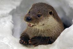 "llbwwb: "" Otter by Milko Marchetti "" Winter's Tale, Otters, Polar Bear, Animals Beautiful, Creatures, Pets, Awesome, Amazing, Mountain"