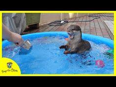(Otter Bingo's summer vacation) Having fun swimming in the pool Summer Vacation Packing, Summer Vacation Style, Animals And Pets, Funny Animals, Cute Animals, Animal Funnies, Cheap Family Vacations, Summer Landscape, Sea Birds