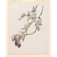 Study of a spray of elderberries  Object: drawing  Date: ca. 1895 (made)  Artist/Maker: Beatrix Potter, born 1866 - died 1943 (artist)  Mate...