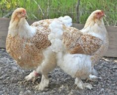 "Buff laced Brahma Beauties At first I thought the title said ""butt faced"" as if this was some kind of official chicken stance."