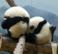Cuddly panda spheres