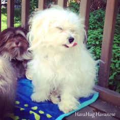 The cutest havanese puppies. Havanese Puppies For Sale, Aussie Puppies, Dogs And Puppies, Best Dog Breeds, Best Dogs, Dog Thoughts, Alpha Dog, Dog Nutrition, Real Dog