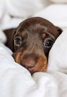 Rottweiler Puppies, Dachshund Puppies, Dachshund Love, Daschund, Cute Baby Dogs, Cute Dogs And Puppies, Cute Little Animals, Cute Funny Animals, Yorky Terrier
