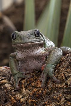 Mossy tree frog #SaveTheFrogsDay