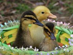 Baby ducks in a basket