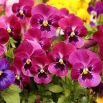 Pansies Perfect for Winter Gardens - Pansies are perfect to add color to your garden. They are easy to grow, come in a wide variety of colors, and make you smile when you see them.  Love them! #Pansies #Wintergarden