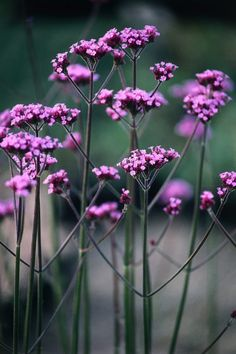 """Verbena bonariensis"" Love the linear quality of the composition."