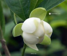 #ยี่หุบ #ไม้ดอกหอม สามัญประจำบ้าน ปลูกเลี้ยงดูแลง่าย #ดอกยี่หุบ กลิ่นหอมแรง ชื่นใจ ออกดอกได้ตลอดปี