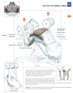 Incline Dumbbell Press ♦ #health #fitness #exercises #diagrams #body #muscles #gym #bodybuilding #chest