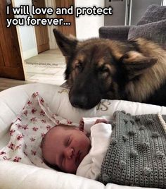 Wicked Training Your German Shepherd Dog Ideas. Mind Blowing Training Your German Shepherd Dog Ideas. Funny Dog Memes, Funny Animal Memes, Cute Funny Animals, Funny Animal Pictures, Cute Baby Animals, Funny Dogs, Animals And Pets, Cute Puppies, Dogs And Puppies