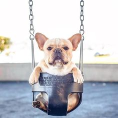"""Isn't someone supposed to Push Me?"".....""I'm just saying."" French Bulldog, via Batpig & Me Tumble It."