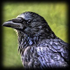 Raven by AngelEowyn