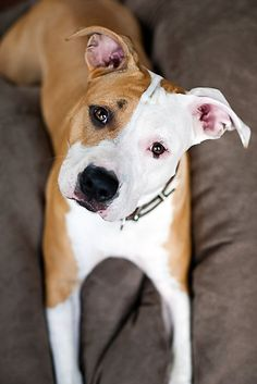 Asha the American Staffordshire Terrier~By Charlotte Reeves