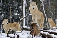 winter wolf pack.