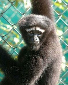 Endangered Primates: Female hoolock gibbon