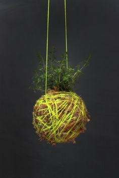 Mister Moss-Thyme Yellow