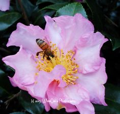 The Camellia Flower