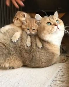 These cute kittens will bring you joy. Cats are awesome companions. Cute Animal Videos, Funny Animal Pictures, Cute Funny Animals, Cute Baby Animals, Animals And Pets, Funny Cats, Wild Animals, Cute Cats And Kittens, Kittens Cutest