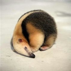 Baby anteater looks like a baked treat <3