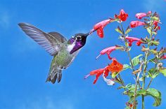 Hummingbirds do more than just hum. Learn about the variety of hummingbird sounds and be ready to listen carefully next time you see one.