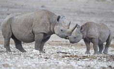 The black rhinoceros or hook-lipped rhinoceros (Diceros bicornis) is a species of rhinoceros,…