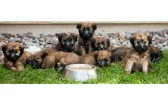 Description The Soft Coated Wheaten Terrier,is a compact and squarely proportioned dog. The moderately long head is rectangular in appearance and in proportion with the body. The strong muzzle is...