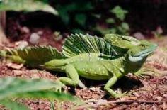| Basilisk Lizards