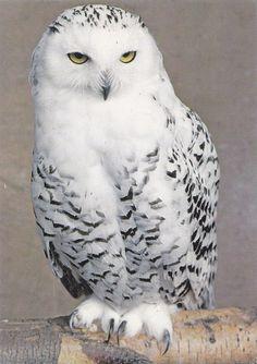 Want an snow owl as a pet …