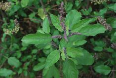 Growing tulsi can be a rewarding project for the home herbalist because this adaptogenic herb is easy to grow and yields abundantly. Tulasi Plant, Plant Leaves, Types Of Tulsi, Healing Herbs, Types Of Plants, Telugu, Medicinal Plants, Herbal Medicine
