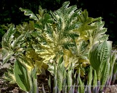 Cool Color for Fresh Foliage, Acanthus 'Tasmanian Angel'