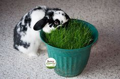 Growing grass in a pot... That's what humans with bunnies do. Really awesome idea for house bunnies! Use this when it's rainy outside!