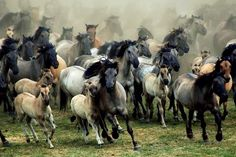 A group of wild horses, Dülmen, Germany, photo and caption by Karen van Gerner All The Pretty Horses, Beautiful Horses, Beautiful Things, Arte Equina, Horse Ranch, Wild Mustangs, White Horses, Horse Love, Horse Art