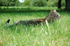 cat sneaking in grass