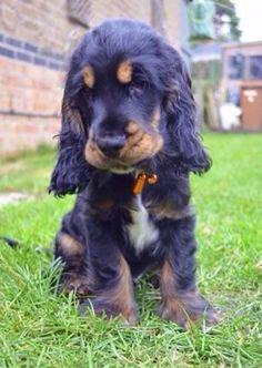 """Click visit site and Check out Cool """"English Cocker Spaniel"""" T-shirts. This website is excellent. Tip: You can search """"your name"""" or """"your favorite shirts"""" at search bar on the top. American Cocker Spaniel, Cocker Spaniel Puppies, Springer Spaniel, Cute Puppies, Cute Dogs, Dogs And Puppies, Doggies, Animals Beautiful, Cute Animals"""