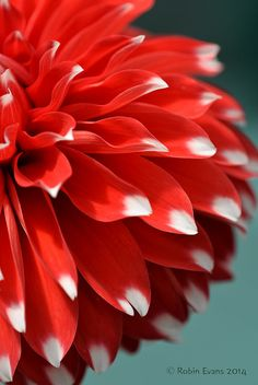 ~~Spot On! | Skipley Spot Dahlia macro | by Robin Evans Studio (Colorado)