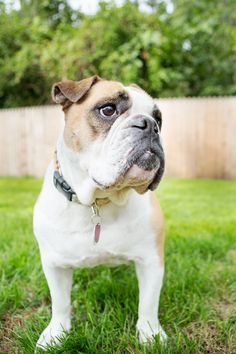 Hunni - English Bulldog