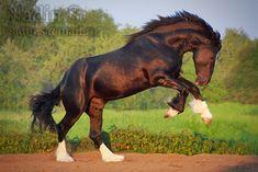 Владимирский тяжеловоз - фотографии - equestrian.ru - Vladimir Heavy Draft