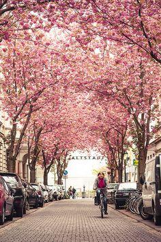 Cherry tree in full bloom, Bonn,  Germany