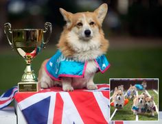 Ten Corgis raced against each other in the Ladbrokes Barkingham Palace Gold Cup Royal Corgi Race in the hope of determining the name of the next royal baby, at Bedford Square in Bloomsbury, London, ahead of the Duchess of Cambridge's April due date.