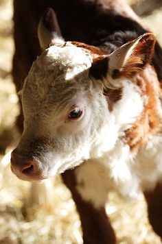 Hereford--the sight of this little guy brings back memories of days growing up as a cowgirl.  Used to bottle feed these little ones whose mama had died giving birth.  Sweet little face...