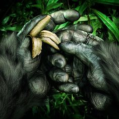 Evolution is a strange, crazy and beautiful thing when you think about where we have come from. It's even stranger to think that humans share 50% of their DNA with a banana. So from monkeys to wo-men, if you could peel back the skin you would be surprised to find what lies beneath.  #evolution #humans #dna #mankind #science #apes #hands #banana